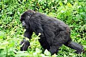 Female mountain gorilla