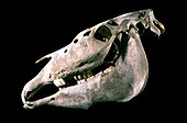 Skull of a horse with myelofibrosis