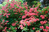 Rhododendron 'Norma'