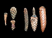Squirrel damaged pine cones