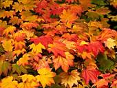 Maple (Acer japonicum vitifolia) leaves