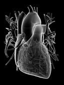 Human heart,anatomical artwork