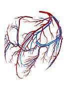 Coronary vessels of the heart