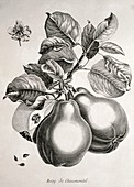 Pears,historical artwork