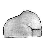 Lituya Bay tsunami evidence,tree rings