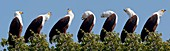 African Fish Eagle's calling sequence