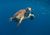 Green turtle swimming