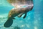 Florida manatee swimming