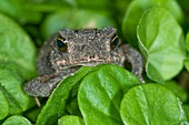 Gulf coast toad amongst leaves