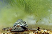 Southern-banded newts