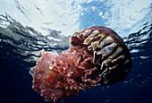 Black Jellyfish (Chrysaora achylos)