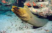 A Caribbean Green Moray Eel