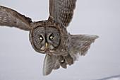 A Great Gray Owl in flight at dusk