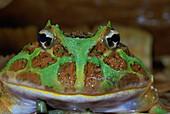 Ornate Horned Frog (Ceratophrys ornata)