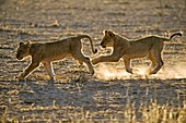 Young African lions