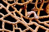 Denise's pygmy seahorse
