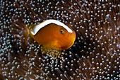 Anemonefish in sea anemone