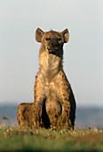 Spotted Hyena (Crocuta crocuta),Kenya