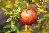 Pomegranate fruit on a tree