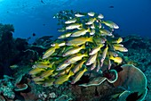 Snappers over a reef
