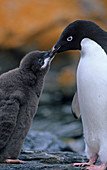 Adelie Penguin adult feeding its chick