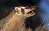 American Badger snarling