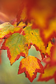 Red Maple tree leaves in fall color