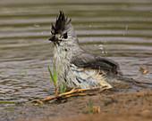 Black-crested Titmouse bathing