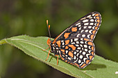 Baltimore Checkerspot adult female