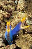 Pair of Blue Ribbon Eels,Indonesia