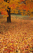 Fall Maple leaves on the forest floor