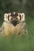 Badger snarling (Taxidea taxus)