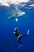 Diver filming a humpback whale calf