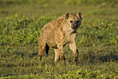 Spotted Hyena on the savanna
