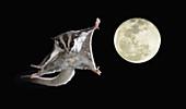 Sugar Glider marsupial