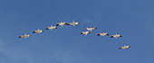 Snow Geese flock flying in a V formation