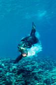 Attacking Californian Sea Lion