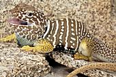 Baja Collared Lizard