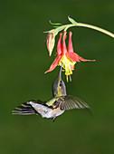 Female Ruby-throated Hummingbird feeding