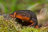 Rough-skinned Newt head-on view