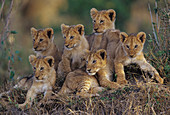 Six African Lion cubs (Panthera leo)