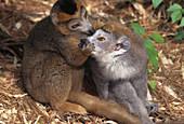 Crowned Lemurs mutual grooming