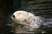 A California Sea Otter