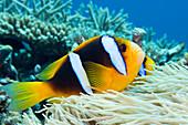 This Orange-Fin Anemonefish