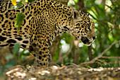 Jaguar (Panthera onca) along a riverbank