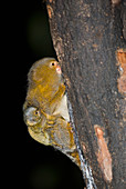Male Pygmy Marmoset young on its back