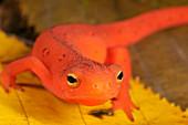 Red Eft head (Notophthalmus viridescens)