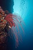 Red Whip Corals (Ellisella ceratophyta)