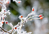 Needle ice on Wild Rose stems and hips
