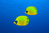 Masked Butterflyfishes